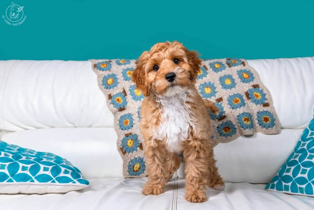 Sunday Sessions 2018-Crumpet the baby labradoodle