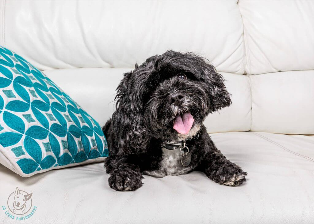 Sunday Sessions 2018-Teddy the black and white Sunday Sessions 2018-Atticus the Cavoodle