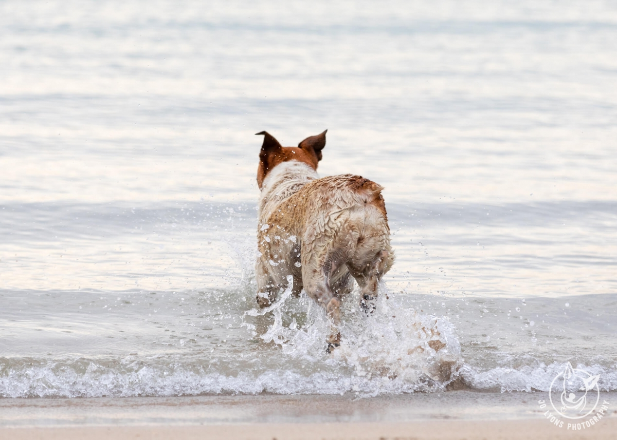 Tilly the stumpy tail cattle dog mix running at Boat Harbour, Cronulla