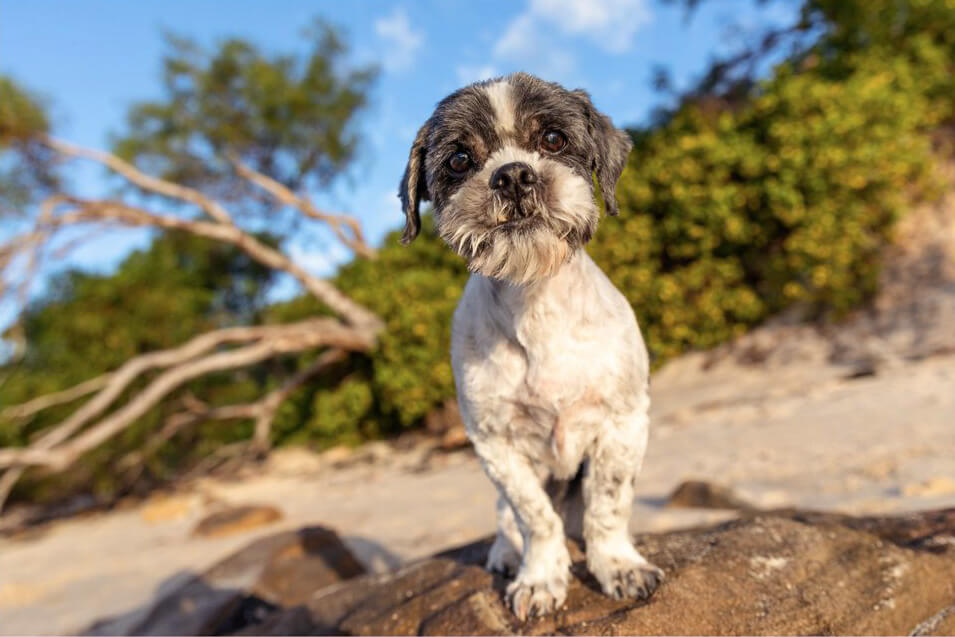 Billy and Melo - Kurnell Blue Sky-Grey and white Shih Tzu on rock at beach