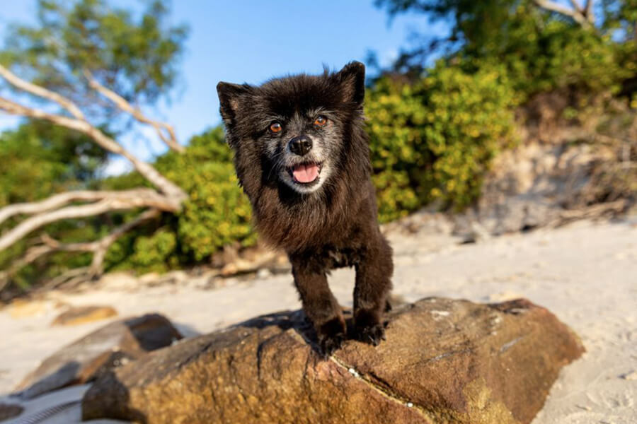 Billy and Melo - Kurnell Blue Sky-Black Pomeranian dog on rock at beach
