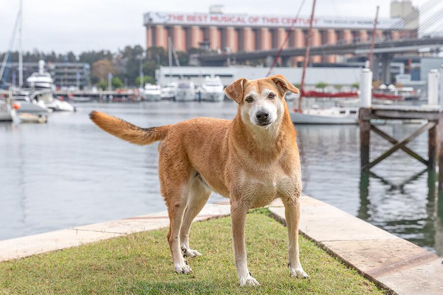 CityLife-Greek Stray to Loved Sydney Dog-22