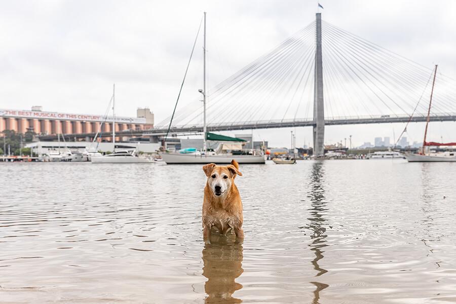 CityLife-Greek Stray to Loved Sydney Dog-39