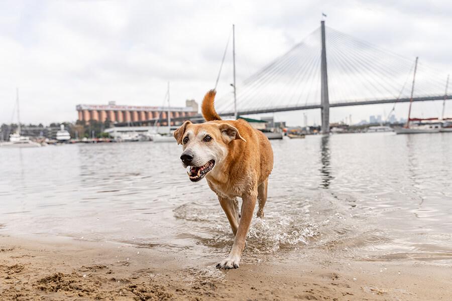 CityLife-Greek Stray to Loved Sydney Dog-9