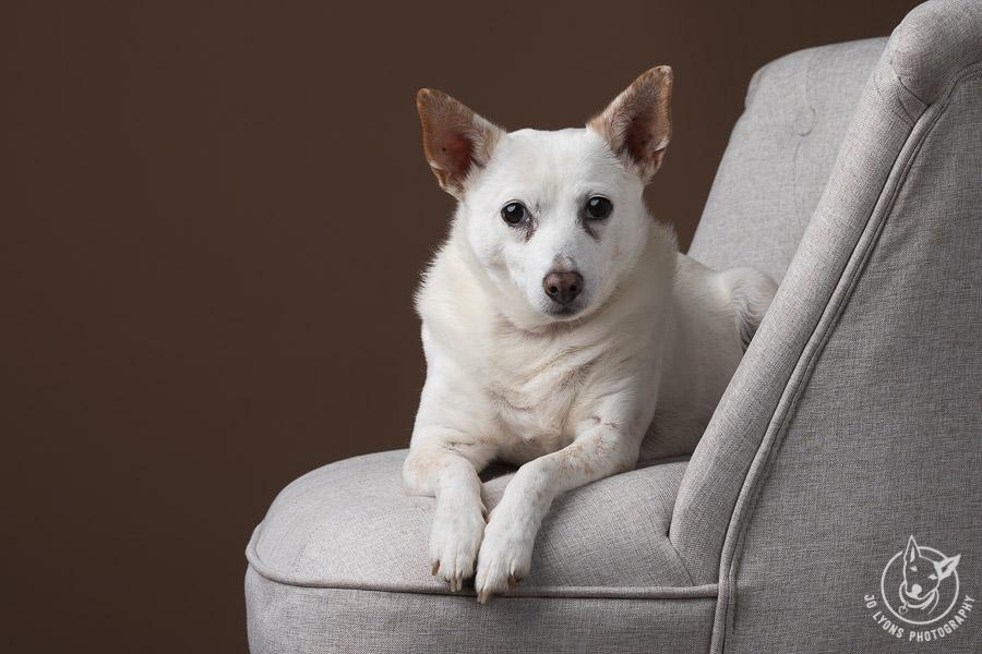 Elegant dog on a beige lounge chair
