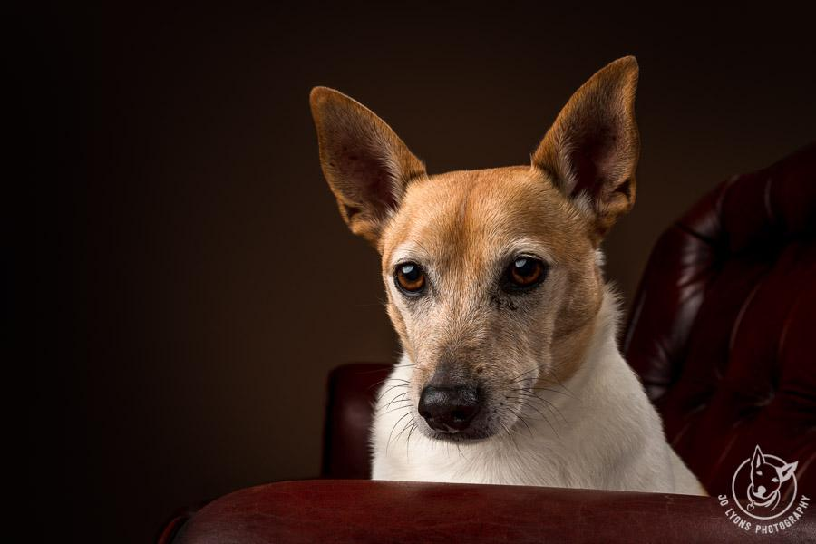 Jack Russell Terrier looking handsome on his vintage chesterfield lounge
