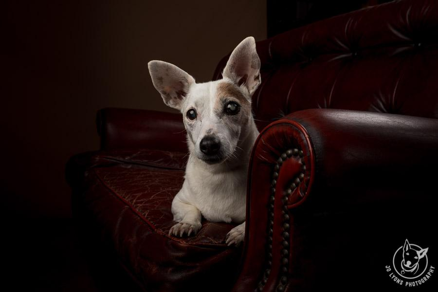 Jack Russell Terrier in a moody photo on a vintage chesterfield lounge