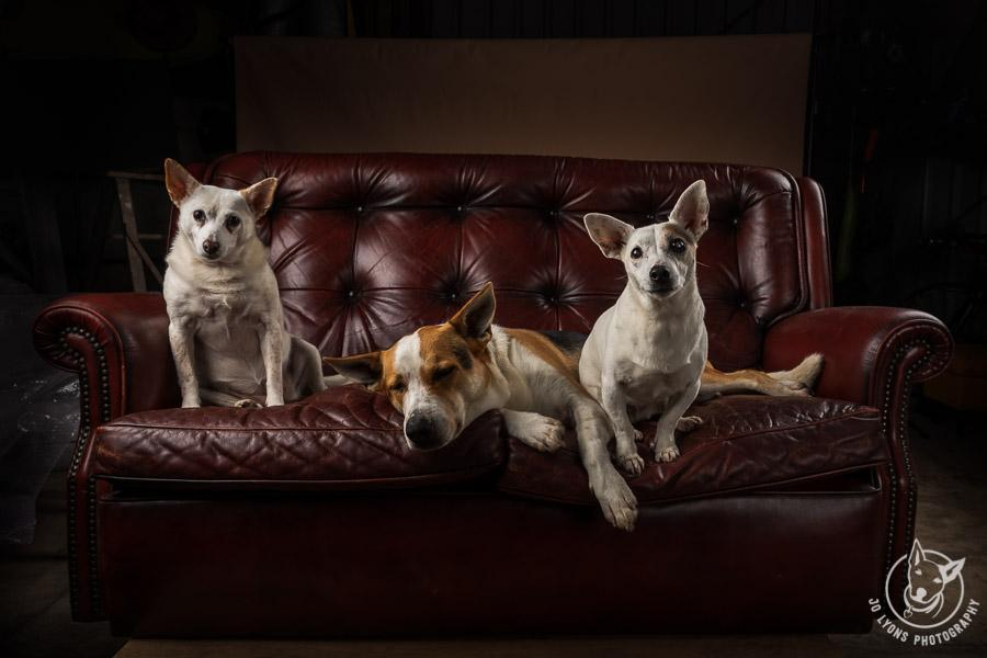 Three dogs on a rustic vintage chesterfield lounge