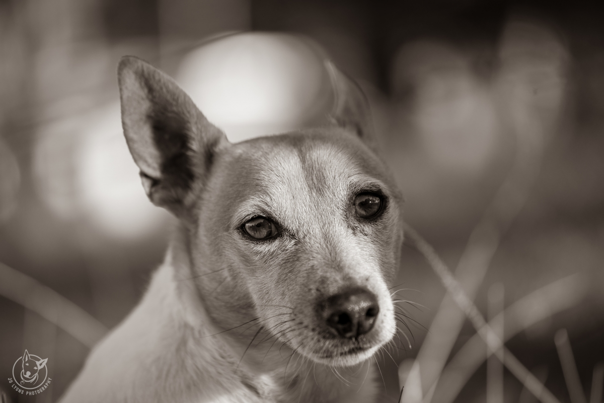 Fill the frame with a Jack Russell Terrier dog on the farm in sepia