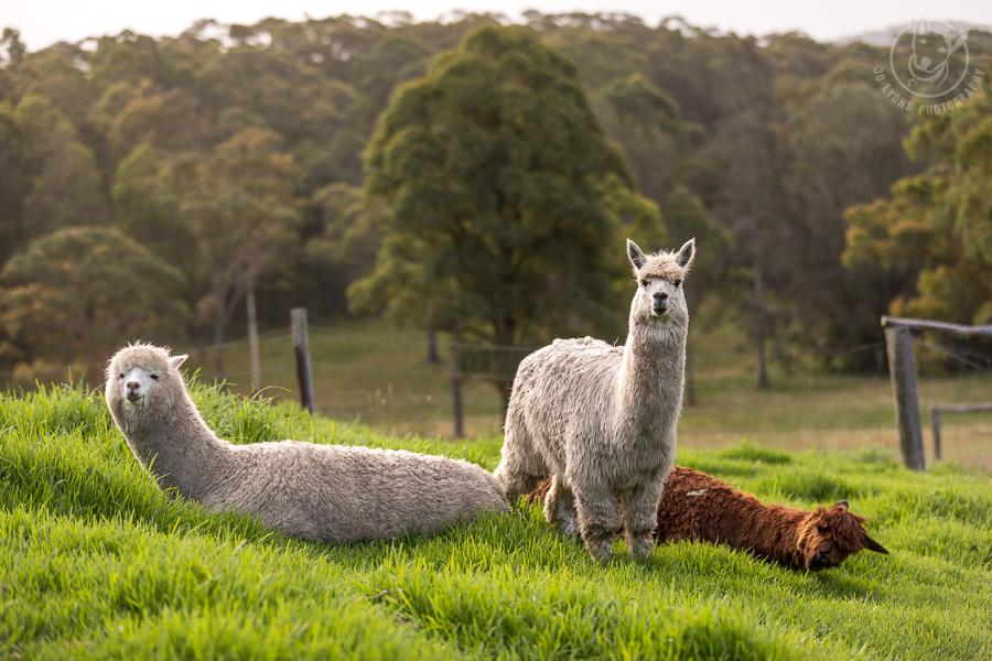Two white alpacas and one toffee alpaca on the grass.