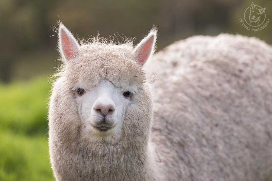 White alpaca looking straight into the lens.
