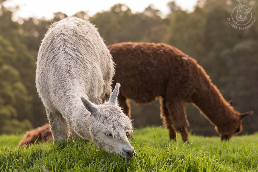 All about Alpacas. White alpaca and one toffee alpaca eating the grass