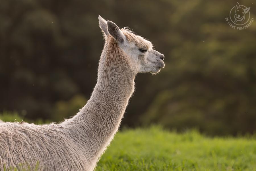 White alpaca profile of head, neck and chest