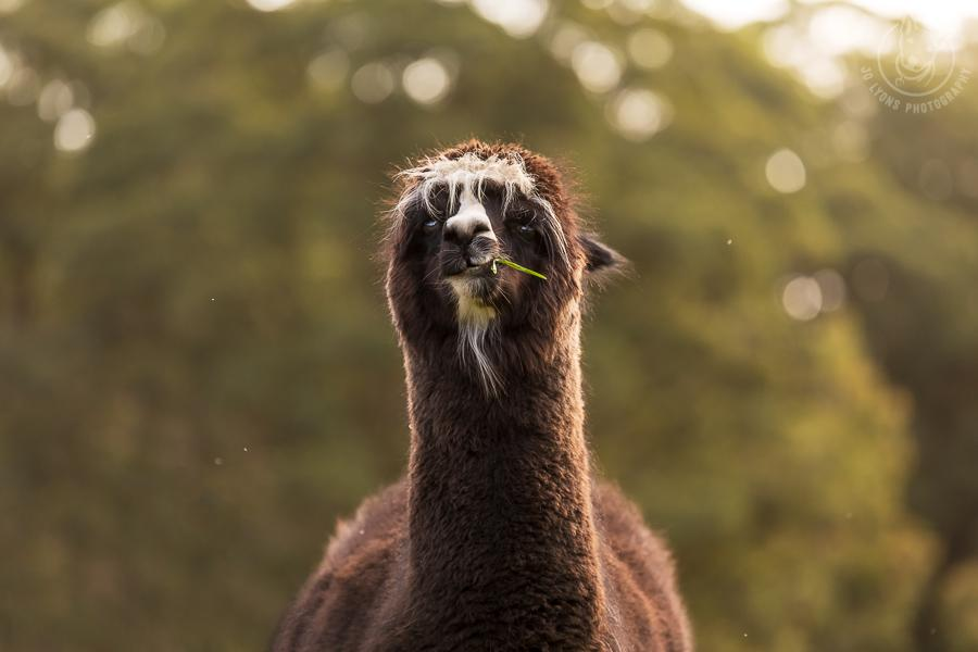 All about Alpacas.Chocolate alpaca with white features looking straight at lens chewing on grass. Head, neck and shoulder portrait.