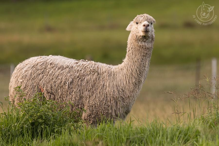 White Suri Alpaca in long grass.