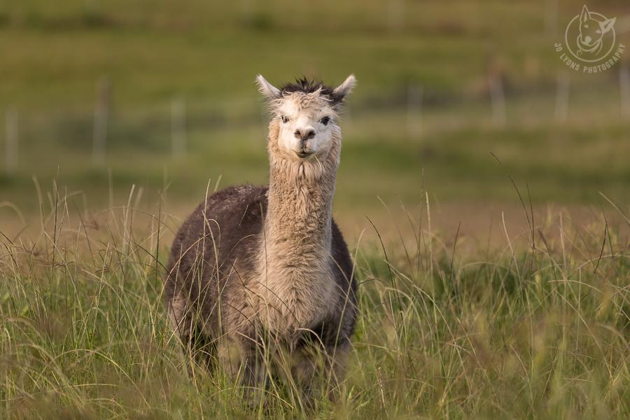 Old brown and cream alpaca male standing in the grass.