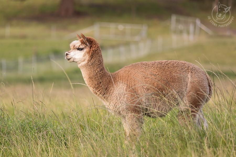 Tan and cream Huacaya Alpaca standing in the field. Full body.
