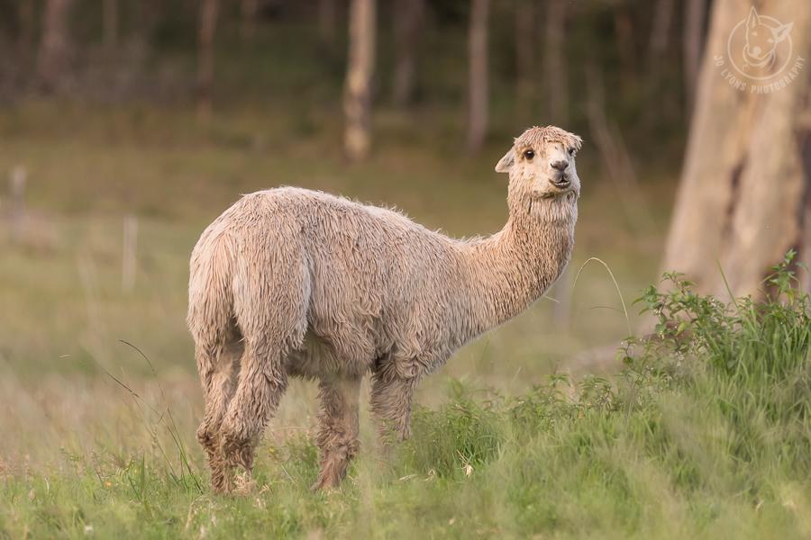 Suri alpaca in paddock. Full body.