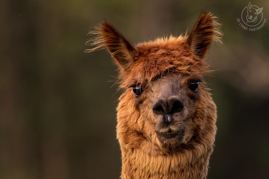 All about Alpacas.Toffee Huacaya Alpaca headshoot looking straight into the lens