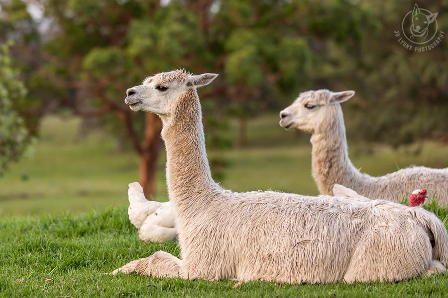 All About Alpacas. Alpacas enjoying the golden hour.