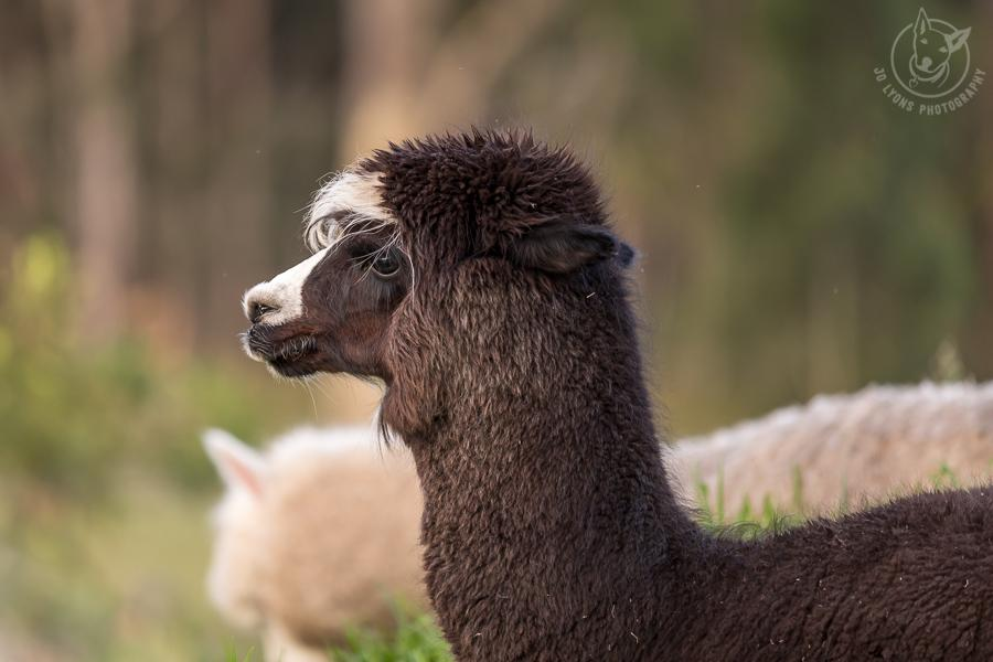 Chocolate alpaca with white features profile of head and neck.