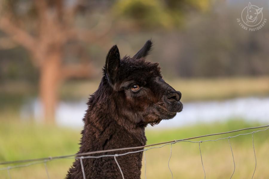 Chocolate Suri alpaca profile of head and neck.