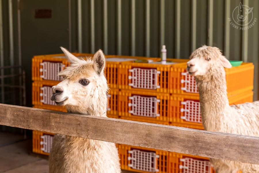 All about alpacas. Alpacas looking on at the shearing in Topi Topi