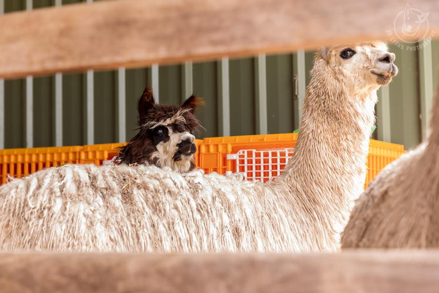 Alpaca looking on at the shearing