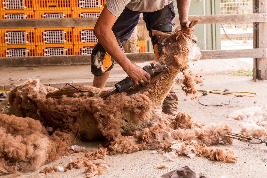 All about alpacas. Alpaca Shearing in Topi Topi.