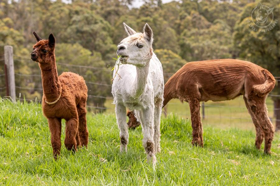 Two toffee coloured and one white alpaca on the grass.