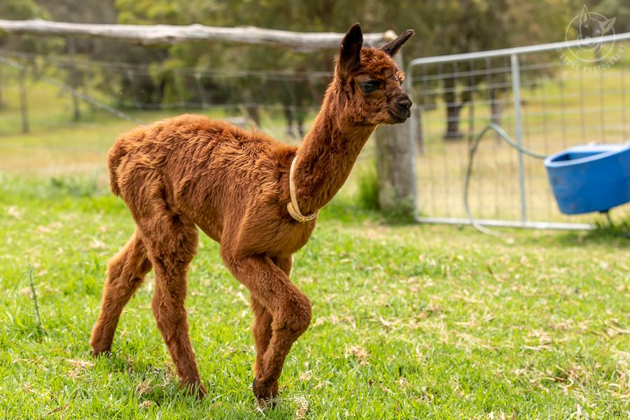 Toffee coloured baby alpaca walking on the grass.