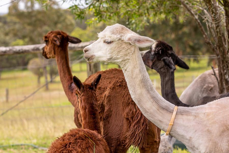 White alpaca just sheared.