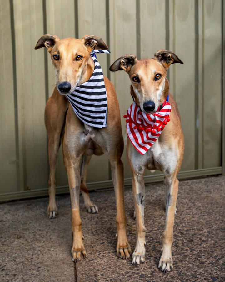 Greyhound Rescue Jo Lyons Photography
