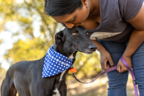 Greyhound Rescue Adoption Portrait