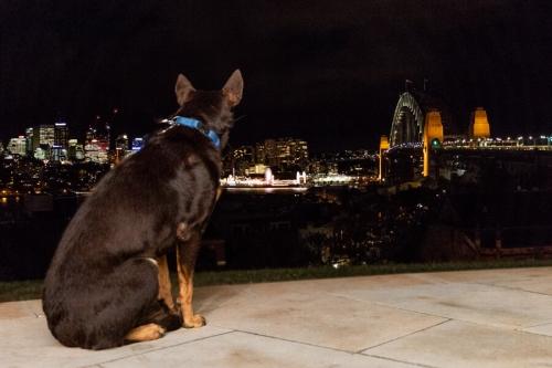 Chance Rescue Dog Photoshoot Sydney