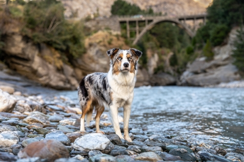 Blue Merle Border Collie New Zealand Shotover Bridge