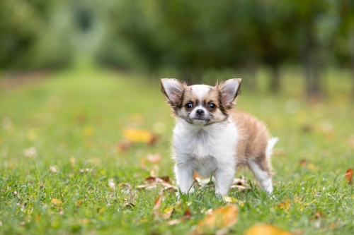 Chihuahua Puppy in Apple Orchard New Zealand Cromwell