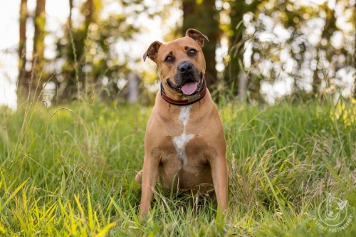 Jo Lyons Photography-Ralphy the American Staffy
