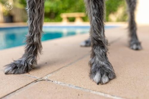 Alfie-Schnauzer Wolfhound Mix-002