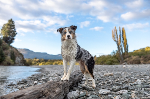 Blue Merle Border Collie New Zealand Lower Shotover