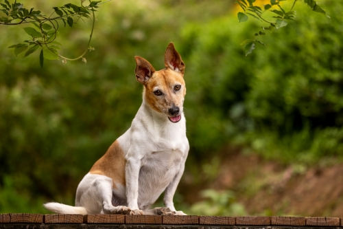 Harvey Jack Russell Terrier on the farm