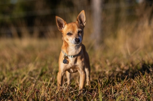 Jo Lyons Photography-Chico the Deer-Headed Chihuaha