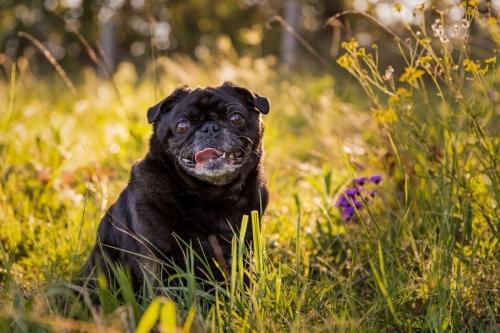 Jo Lyons Photography-Knuckles the Black Pug