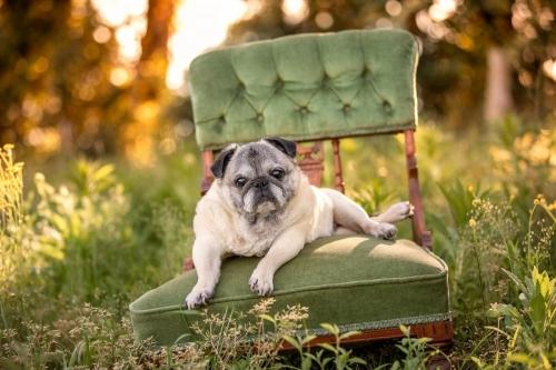Jo Lyons Photography-Peggy the Senior Pug