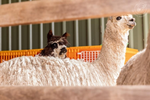 Jo Lyons Photography - Alpaca ShearingCopyright: Jo Lyons Photography