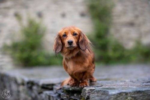 Dog Photography Retreat QueenstownA rainy day with Harper the long-haired Dachshund at Arrowtown Village Green