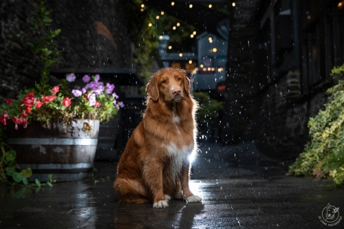 Dog Photography Retreat QueenstownA rainy day with Lexi the Nova Scotia Duck Tolling Retriever at near the Blue Door Bar at Arrowtown