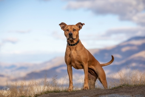 Dog Photography Retreat QueenstownBree the Ridgeback Mix at Coronet Peak