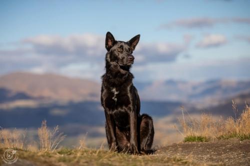 Dog Photography Retreat QueenstownCastiel the rescued Black German Shepherd at Coronet Peak