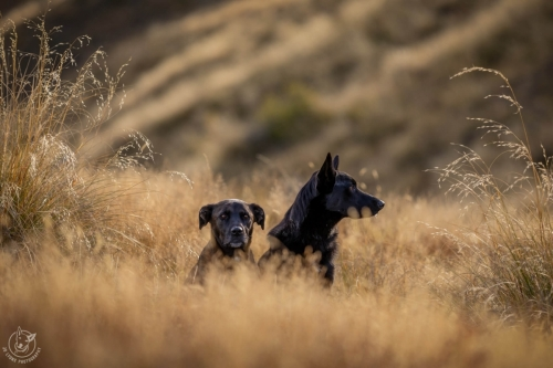 Dog Photography Retreat QueenstownCastiel the rescued Black German Shepherd and Dusty the rescued Kelpie at Coronet Peak